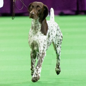 510741660_westminster-kennel-club-dog-show-zoom-0f841cbe-a78a-484f-a886-88f3b3306acb